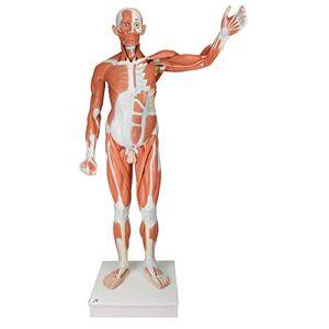 3B Scientific Human Anatomy - Life Size Male Muscular Figure, 37 Part + free anatomy software - 3B Smart Anatomy