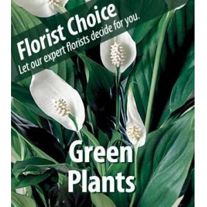 Blooms Today Florist Choice - Green Plants Flower Delivery
