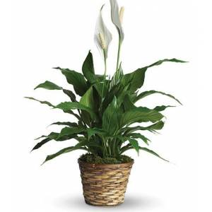 Blooms Today Classic Peace Lily Plant Flower Delivery