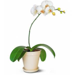 Blooms Today White Phalaenopsis Orchid Flower Delivery