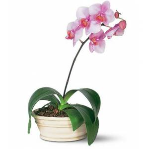 Blooms Today Lavender Phalaenopsis Orchid Flower Delivery