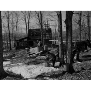 Posterazzi SAL255424946 USA New Hampshire Lancaster Farmers Gathering Sap with Horses Poster Print - 18 x 24 in.
