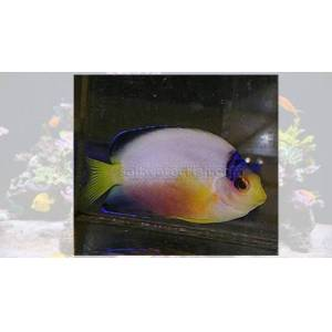 Marshall Multicolor Angelfish - Marshall Island  - Black Friday 21% OFF!