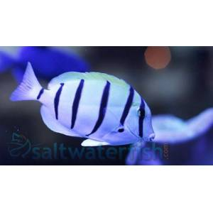 Convict Tang  - Black Friday 27% OFF!