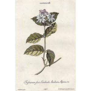 """Jasminum sive Sambach Arabum Alpini. J. B."". BLUMEN: JASMIN: [ ]"