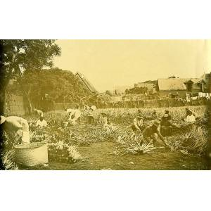 Madagascar Agave Plantation Old Photo Ramahandry 1910' RAMAHANDRY [ ]