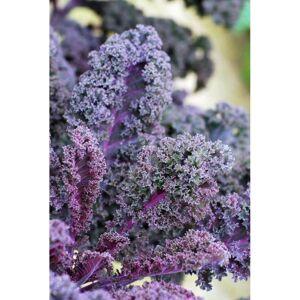 Viridis Hortus Kale Scarlet Borecole (430) (1.0g) Vegetable Seeds