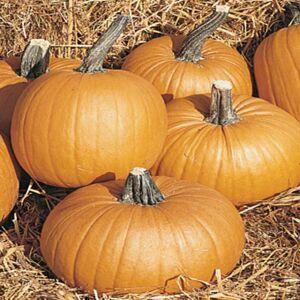 Viridis Hortus Pumpkin Tom Fox (7) Vegetable Seeds