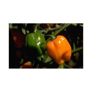 Viridis Hortus Pepper, Hot Habanero Orange (20) Fruit/Vegetable Seeds