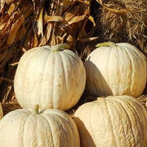 Viridis Hortus Pumpkin Snowman (6) Vegetable Seeds