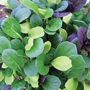 Viridis Hortus Pak Choi Colour Crunch Mix  400 (1g) Vegetable Seeds