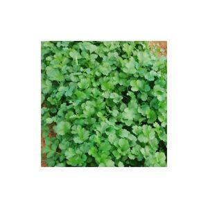 Viridis Hortus Coriander, Cruiser (P.V.P) Herb (CN COR 6003) (212) (2.4g) Herb Seeds