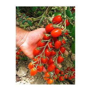 Viridis Hortus Tomato Modus F1 (5) Vegetable/Fruit Seeds