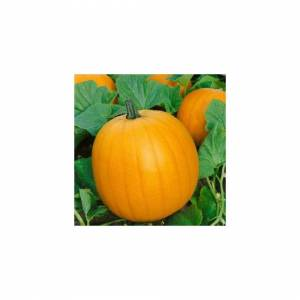 Viridis Hortus Pumpkin - Jack O' Lantern (10) Vegetable Seeds