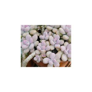 Unbranded 10 Seeds Pachyphytum Glutinicaule Vista Hermosa, Cute Succulents, Exotic Rare Su