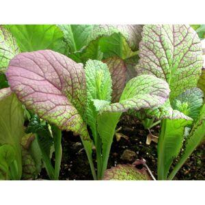 Viridis Hortus Mustard, Red Giant (830) (1.2g) Vegetable Seeds