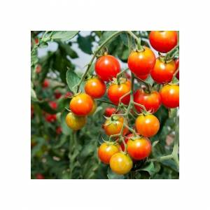 Viridis Hortus Tomato Chadwick Cherry 75 Vegetable/Fruit Seeds