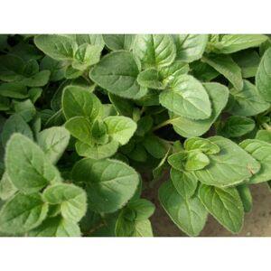 Viridis Hortus Oregano, Greek 1200 (0.1g) Herb Seeds