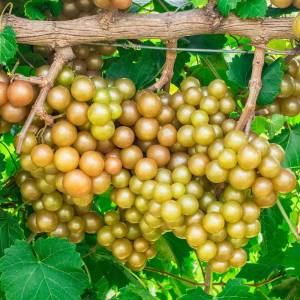 Gurney's 4 In. Oh My Grape Vine Vitis Live Potted Fruiting Plant (1-Pack)