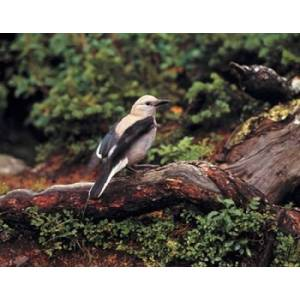 Posterazzi PDDCN01RER0053 Clarks Nutcrackers Bird in Banff Np Alberta Poster Print by Ric Ergenbright - 26 x 20 in.