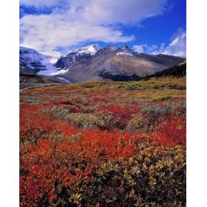Posterazzi PDDCN01RER0026 Alberta Columbia Icefields Huckleberry Meadows Poster Print by Ric Ergenbright - 21 x 26 in.