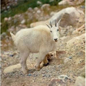 Posterazzi PDDCN01RER0051 Alberta Banff Np Rocky Mountain Goat Poster Print by Ric Ergenbright - 23 x 23 in.
